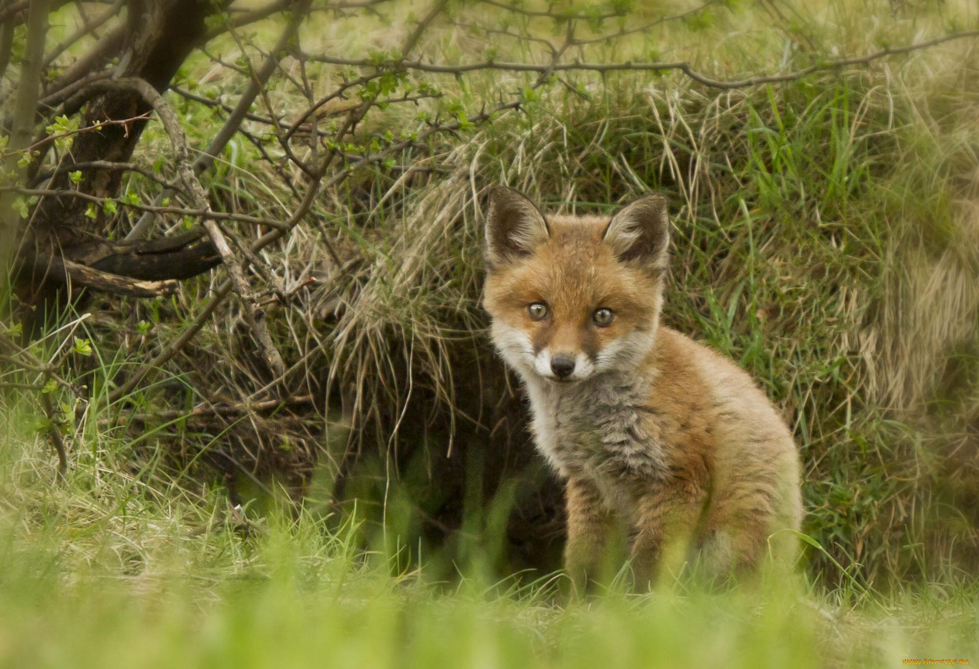Pin животные лисы обои для рабочего